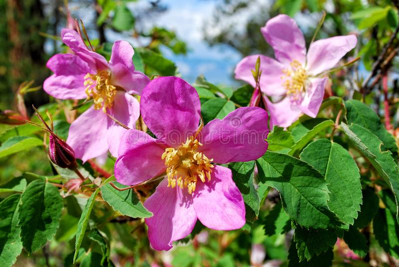 O dogrose de florescência, fragmenta um ramo macro com uma flor, flores de um assunto imagem de stock