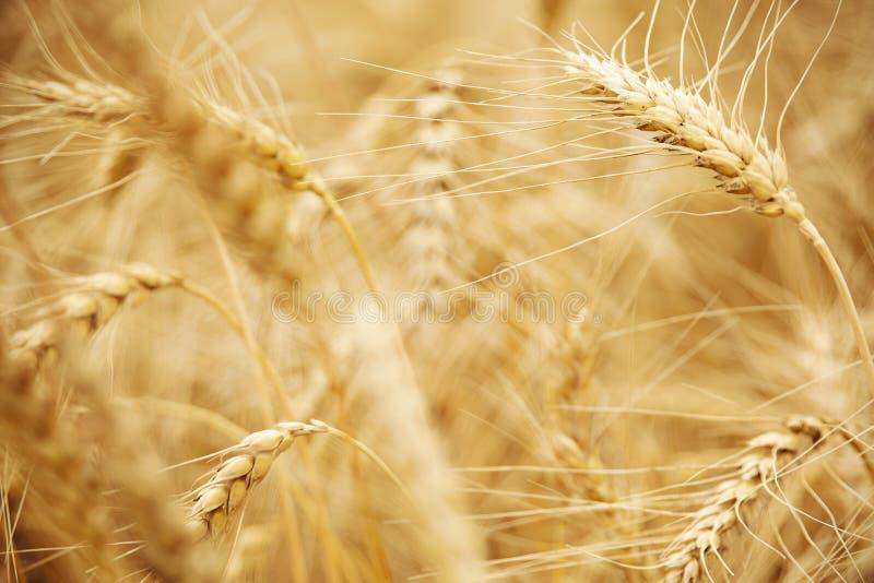 O?dos del cierre de oro del trigo para arriba imagen de archivo libre de regalías