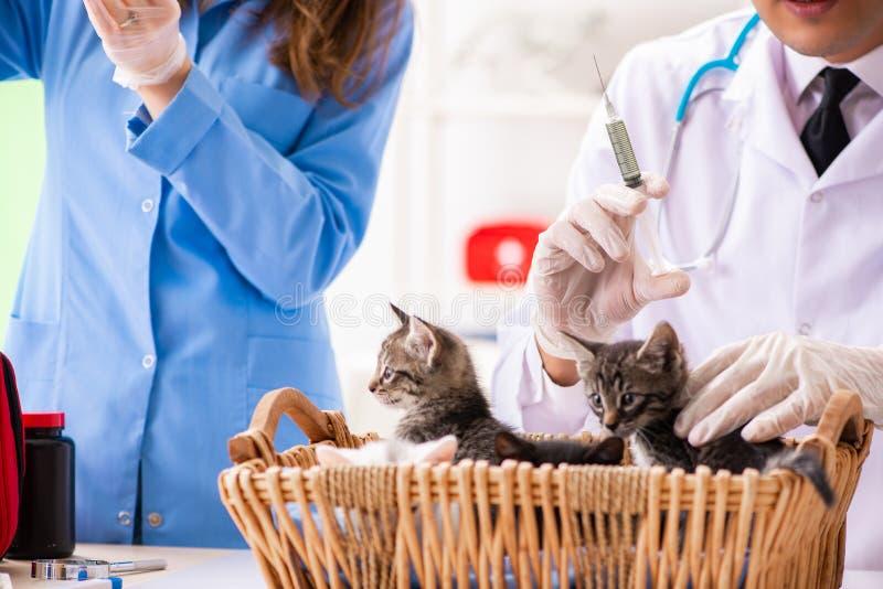 O doutor e o assistente na clínica do veterinário que verificam acima do gatinho imagens de stock royalty free