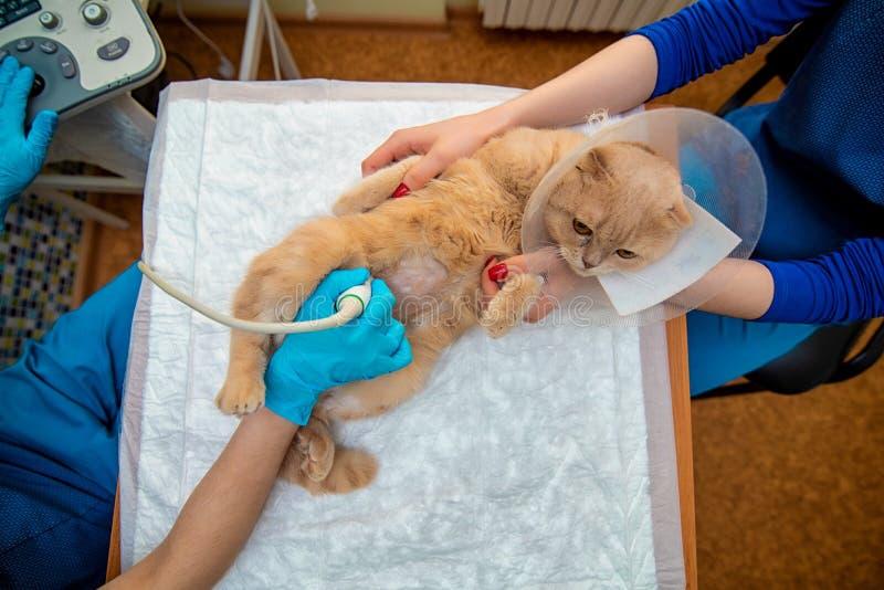 O doutor faz um exame do ultrassom do abd?men do gato, de um animal na tabela de funcionamento, de um doutor e de um paciente foto de stock royalty free