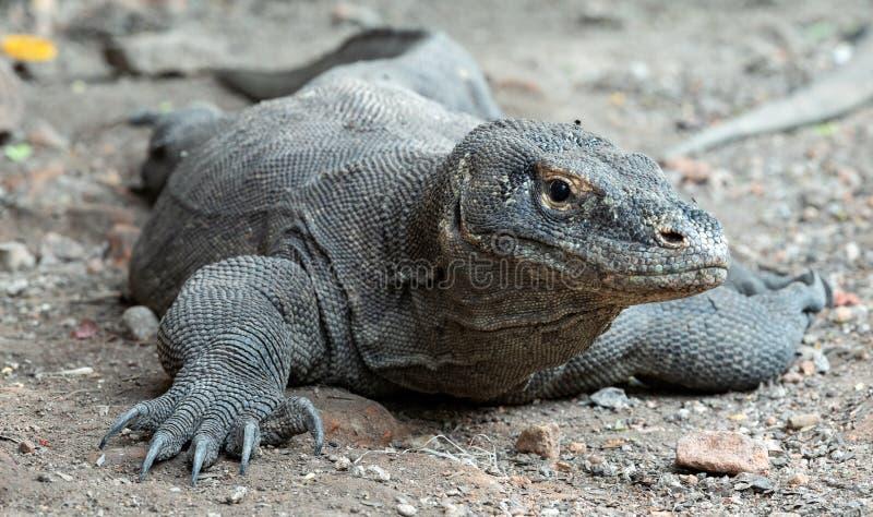 O dragão de Komodo Front View, fim acima Nome científico: Komodoensis do Varanus indonésia fotos de stock