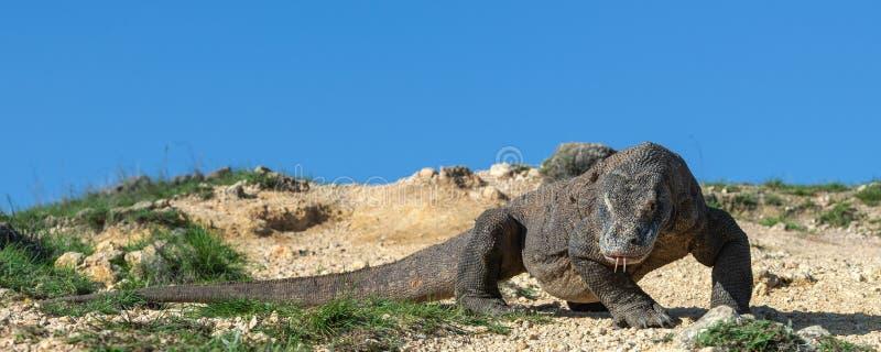 O dragão de Komodo Front View Nome científico: Komodoensis do Varanus indonésia fotografia de stock