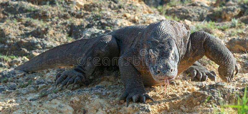 O dragão de Komodo Front View Nome científico: Komodoensis do Varanus indonésia fotos de stock royalty free