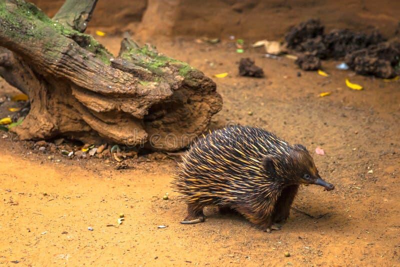 Download O Echidna australiano foto de stock. Imagem de anteater - 65579798