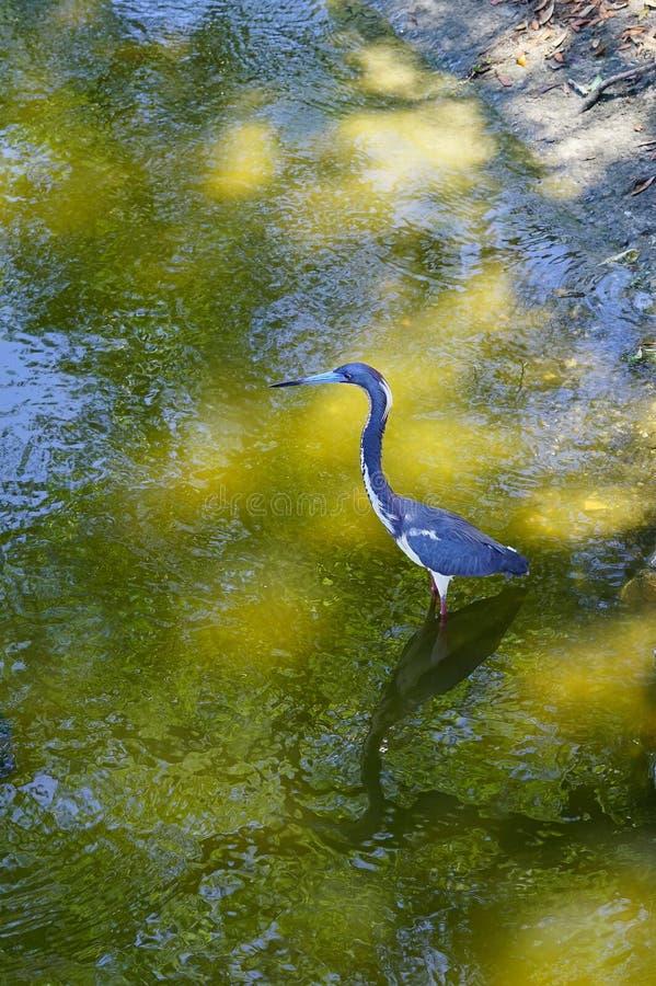O Egret azul está procurando o alimento imagem de stock