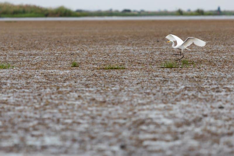 O egret branco está voando no lago para encontrar alimentos foto de stock
