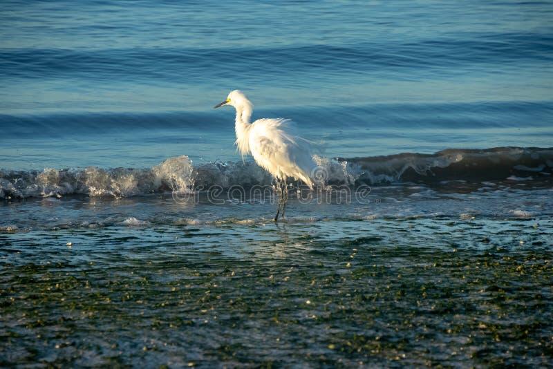 O egret branco leitoso agita suas penas ao pescar no golfo de fotografia de stock royalty free