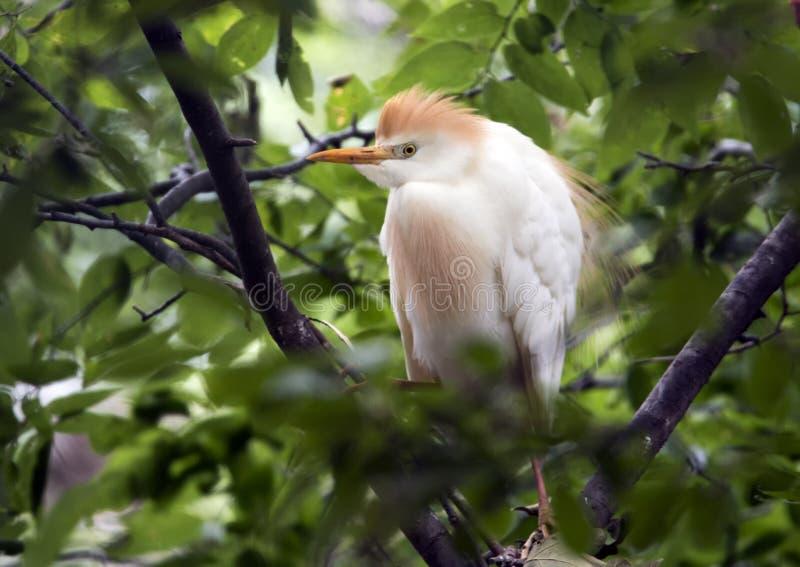 O egret de gado empoleirou-se em uma árvore, close up fotos de stock