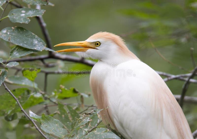 O egret de gado empoleirou-se em uma árvore, close up imagem de stock