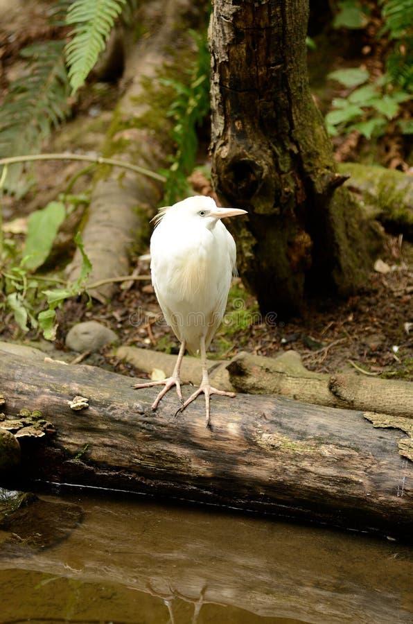 O Egret de gado pesca um córrego pequeno imagens de stock royalty free