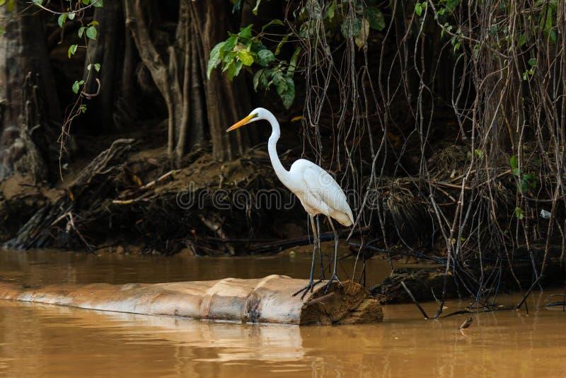 O Egret espera em uma árvore caída em um rio da selva imagem de stock