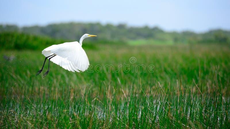 O Egret intermediário está voando fotografia de stock