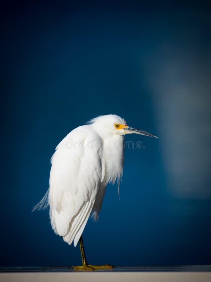 O Egret nevado fotos de stock