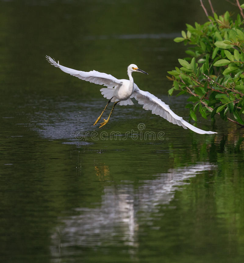 O egret nevado de voo voa sobre a lagoa no viveiro de Veneza fotografia de stock