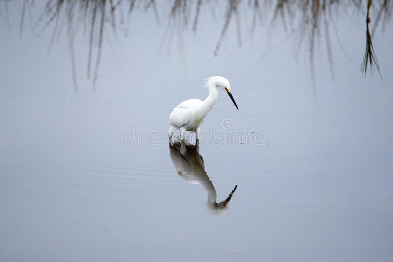 O egret nevado joga uma reflexão no pântano de Amelia Island imagens de stock