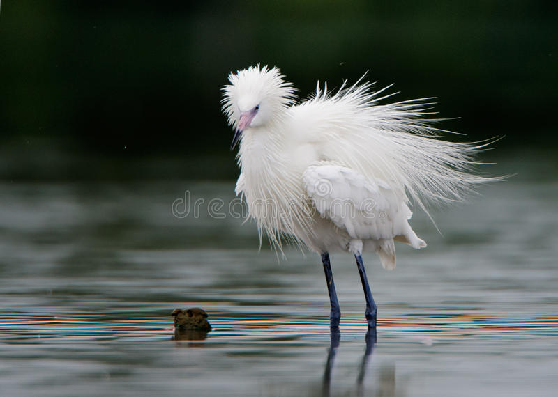 O egret nevado (thula do Egretta) imagem de stock royalty free