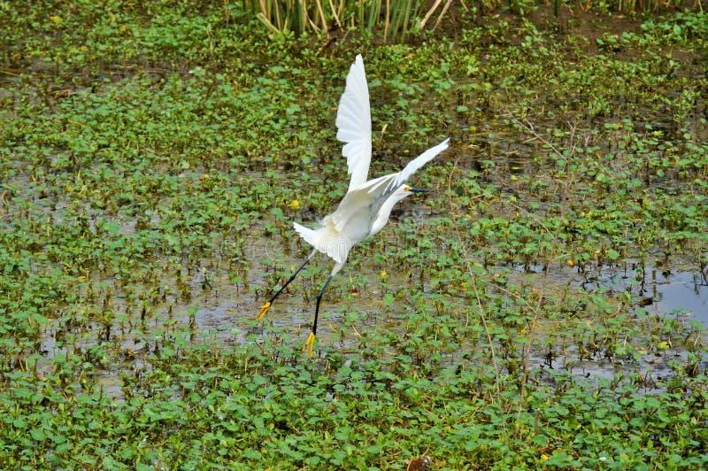 O egret nevado voa sobre a água fotografia de stock royalty free
