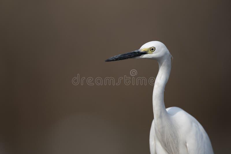 O egret pequeno imagem de stock