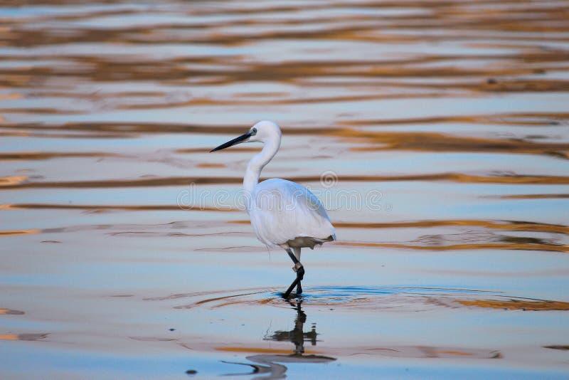 O Egret que anda ao longo do rio que tenta multou um peixe imagem de stock royalty free