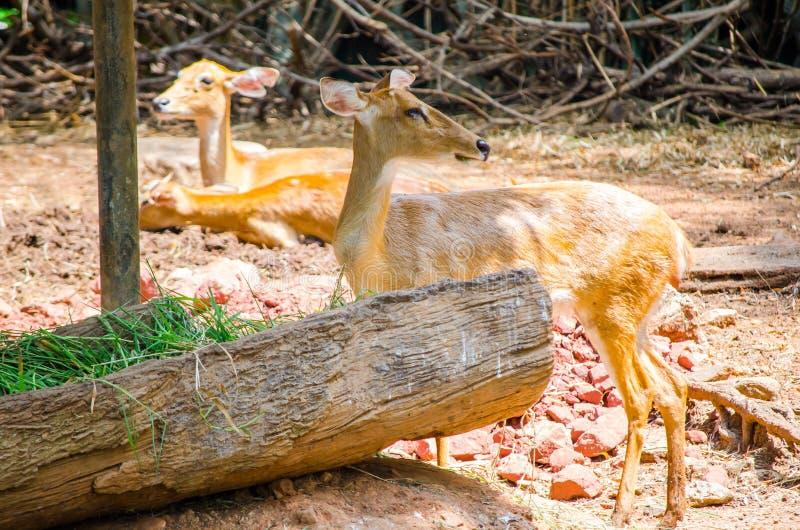O eldii bonito de Rucervus dos cervos do ` s do eld que espera obtém de alimentação imagem de stock royalty free