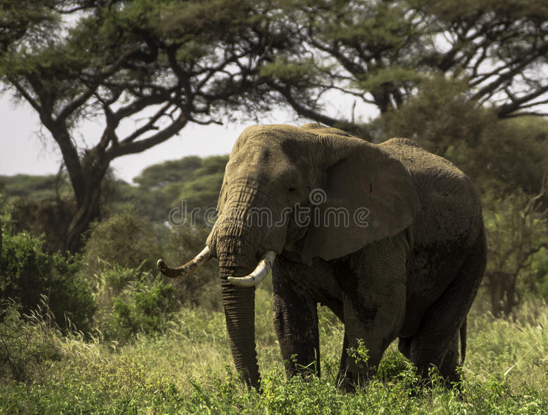 O elefante fotos de stock royalty free