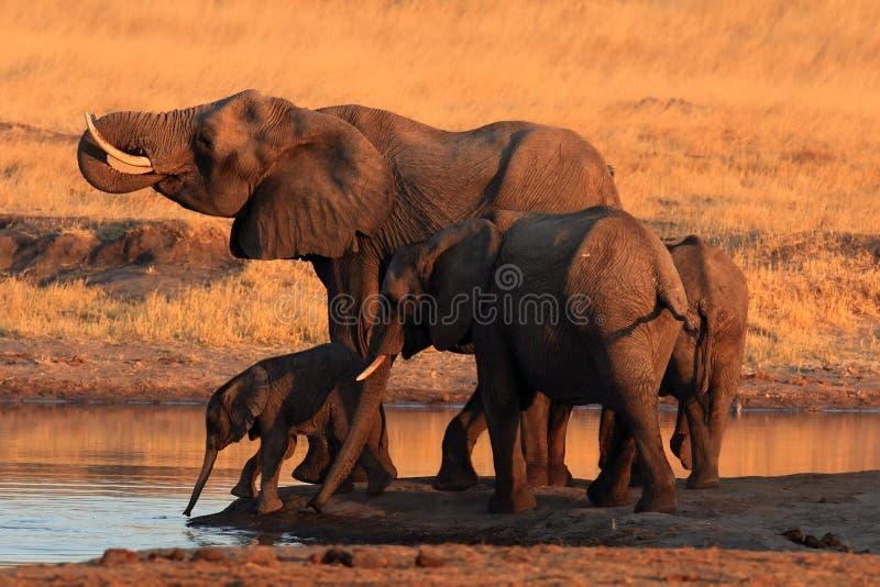 O elefante africano do arbusto, grupo dos elefantes pelo waterhole imagens de stock royalty free