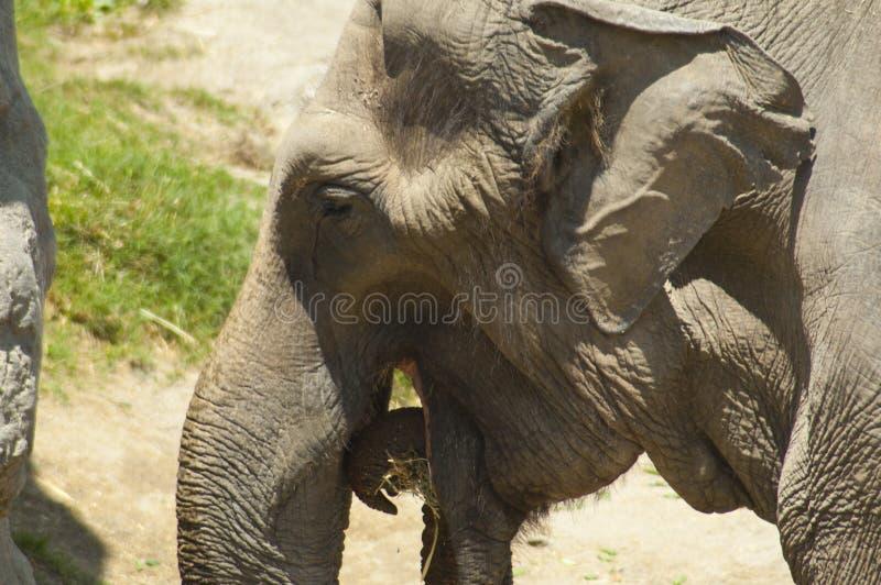 O elefante asiático come o feno no jardim zoológico fotos de stock