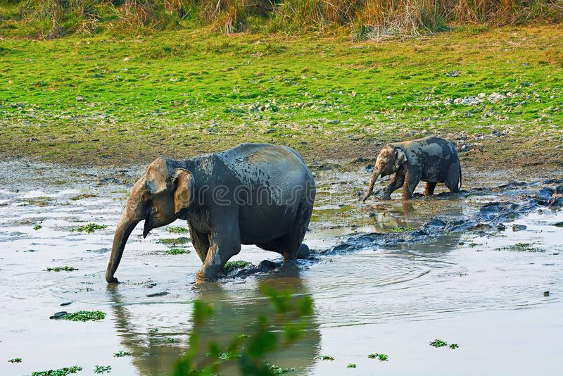 O elefante asiático ou asiático, maximus do Elephas imagens de stock
