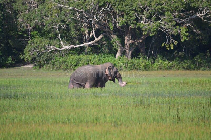 O elefante asiático seja habitado igualmente Viva por muito tempo podem nadar na água de w foto de stock