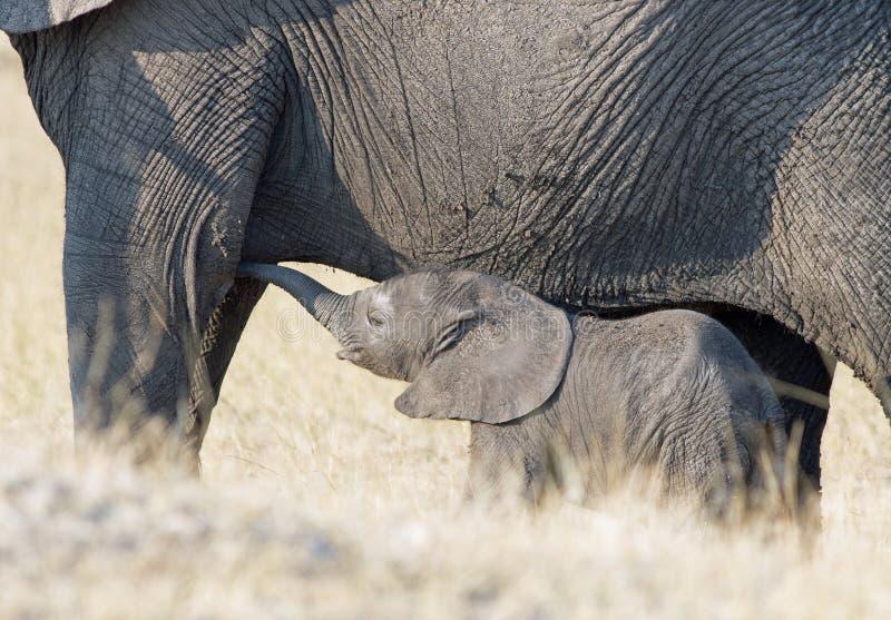 O elefante do bebê que mama dele é mãe no parque nacional de Hwange fotos de stock royalty free