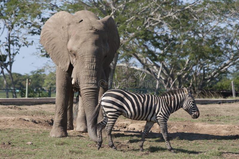 O elefante e a zebra no safari do jardim zoológico estacionam, Villahermosa, Tabasco, México imagens de stock