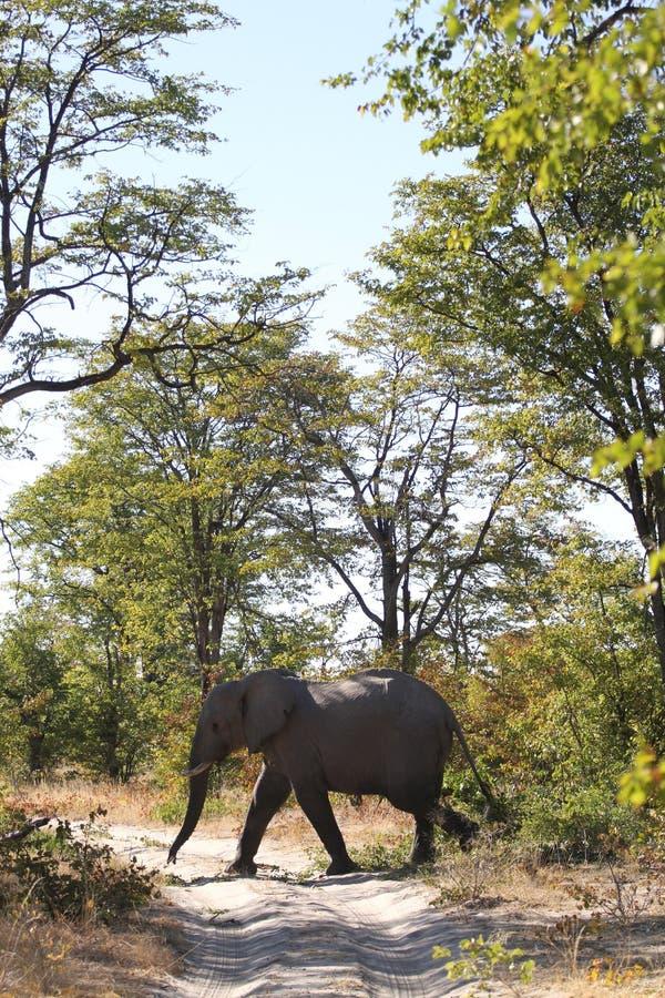 O elefante está cruzando a estrada imagem de stock royalty free