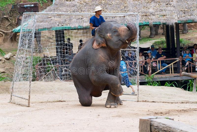 O elefante joga como um depositário do objetivo durante um fósforo de futebol na mostra do elefante em Mae Sa Elephant Camp em Ch fotos de stock
