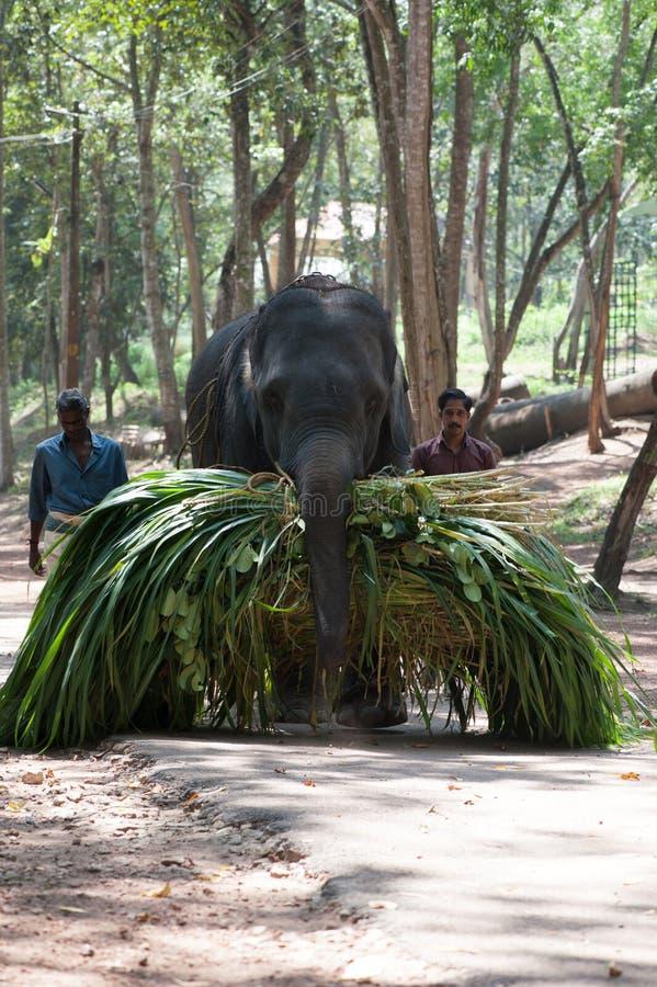 O elefante leva uma braçada do verde sob o gadman da supervisão imagem de stock