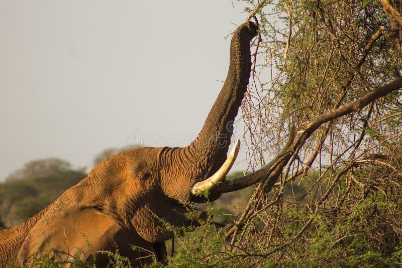 O elefante manchou a alimentação em uma movimentação do jogo foto de stock