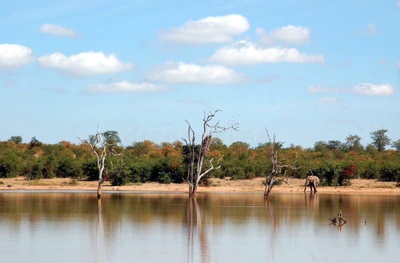 O elefante nas ?guas afia foto de stock royalty free