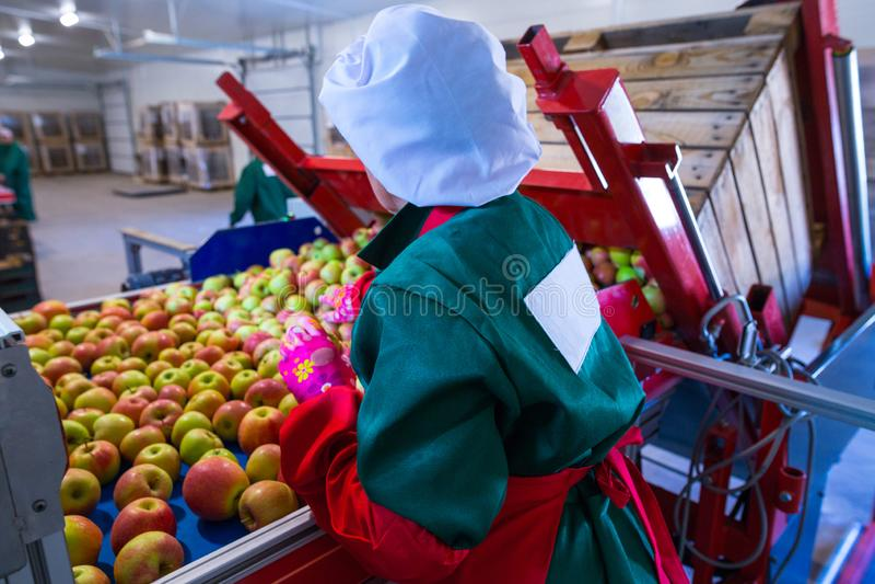 O empregado classifica as maçãs maduras frescas na linha de classificação PR imagens de stock
