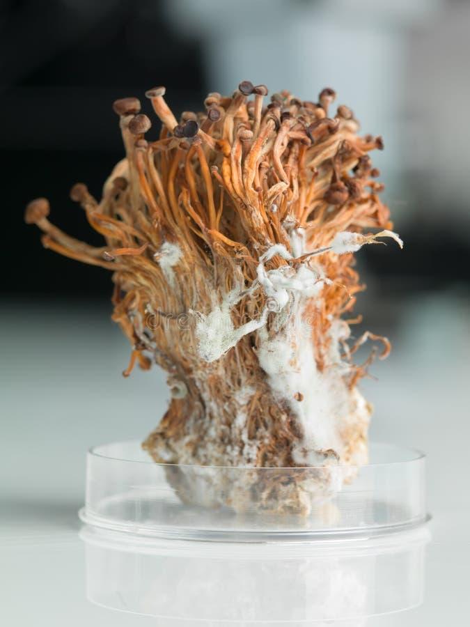 O enoki congelado cresce rapidamente polia no prato de petri foto de stock
