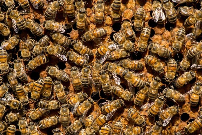 O enxame da abelha de rainha imagem de stock