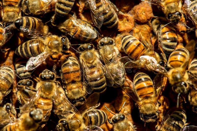 O enxame da abelha de rainha imagens de stock