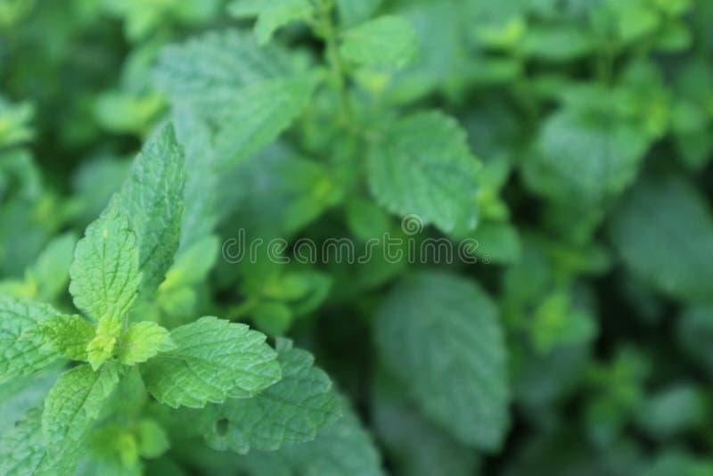 O erva-cidreira que cresce no graden, officinalis do melissa detalha textura defocused imagem de stock