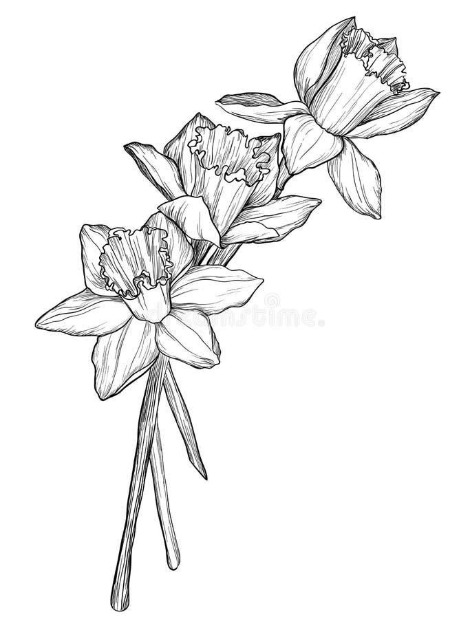 O esboço do narciso floresce a flor ilustração do vetor