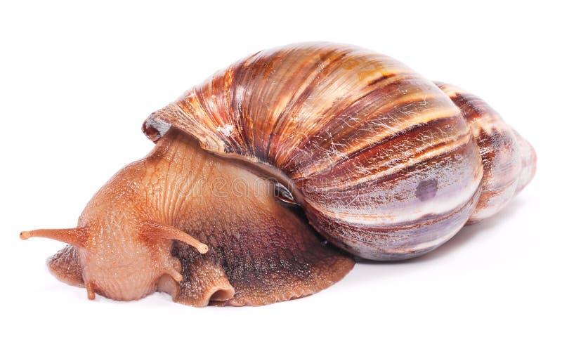 O escargot francês do nome imagens de stock
