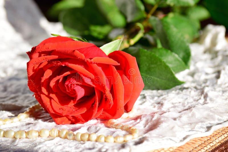 O escarlate da rosa encontra-se em um pano branco Nas pétalas do orvalho A configuração dos grânulos da pérola ao lado da rosa ve imagem de stock royalty free