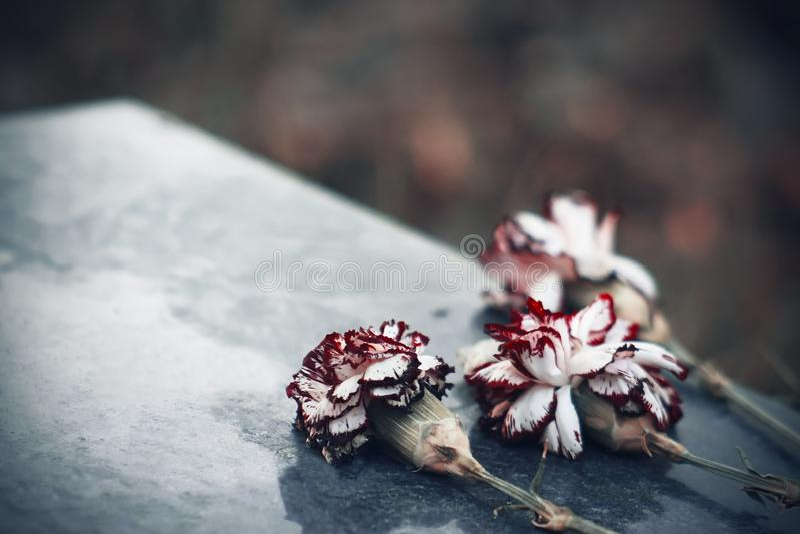 O escarlate desvanecido das flores do cravo é na pedra a lápide foto de stock royalty free