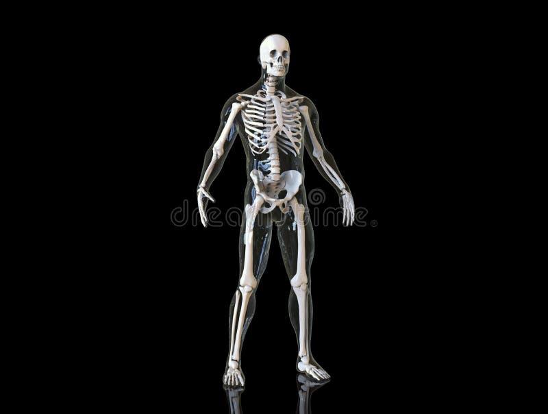 O esqueleto humano isolado no fundo, 3d rende ilustração royalty free