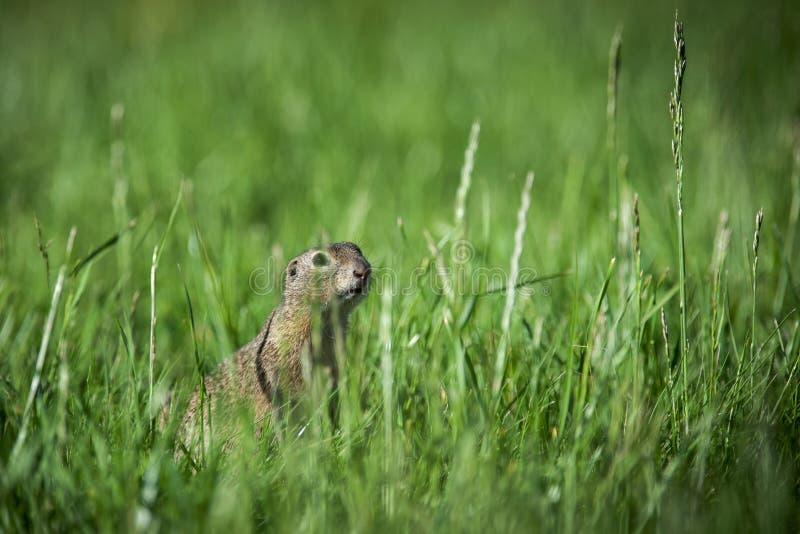 O esquilo à terra europeu está olhando foto de stock royalty free