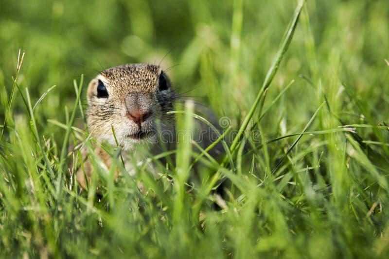 O esquilo à terra europeu está olhando fotografia de stock