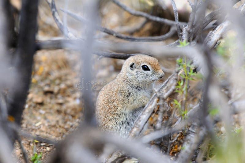 o esquilo à terra Redondo-atado escondido no deserto esfrega fotos de stock royalty free