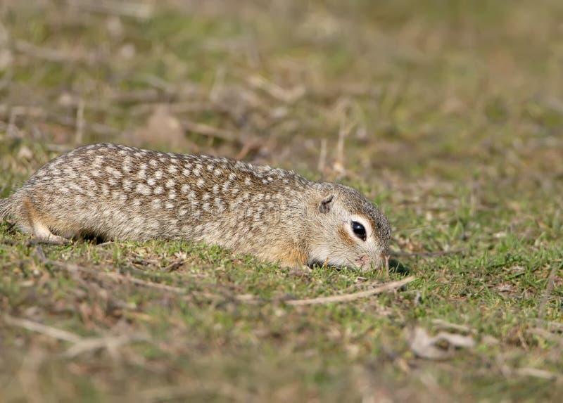 O esquilo à terra salpicado ou o suslicus manchado do Spermophilus do souslik foto de stock royalty free